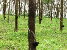 Rubber Trees In A Plantation
