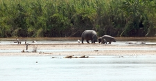 Hippopotamuses In The National Park