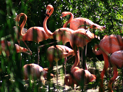 Sacramento Zoo Flamingo Flock