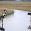Saddle Billed Storks