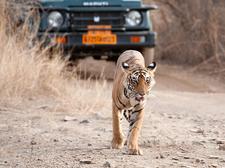Safari Show - Tiger At Ranthambore