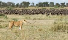 Safaris Tanzania Wildebeest Migration