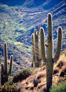 Saguaros In Agua Fria National Monument