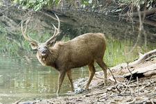 Sambar Deer At Ranthambore NP