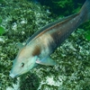 Sandagers Wrasse @ Poor Knights Dive Site NZ