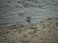 Sandpiper On The Shoreline