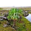 Sanetti Plateau - Giant Lobelia - Ethiopia