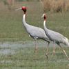 Sarus Crane At Sultanpur