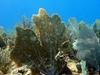 Sea Fans On Molasses Reef - Key Largo FL