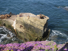 Sea Lions At The La Jolla Cove