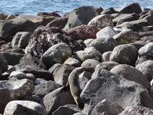 Seal On Rocks At Moutohora (Whale Island)