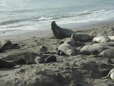 Seals At Carmel River Beach