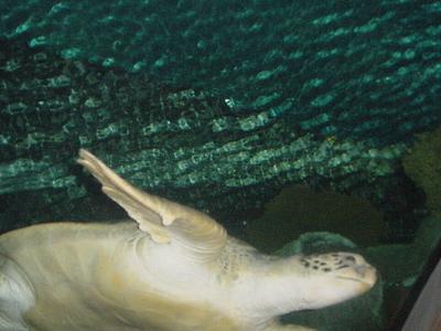 Sea Turtle In Aquarium