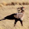 Secretary Bird - Namib Naukluft Park