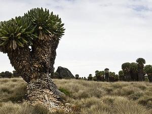 Senecias Gigantes Near Horombo Huts - Mount Kilimanjaro