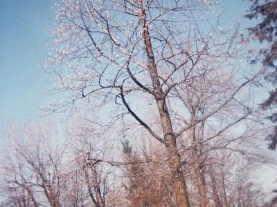 Senneville Tuliptree