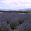 Sequim W A Lavender Farm