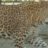 Leopard In Mini Zoo At SGNP