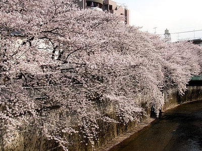 Shakujii River And Cherry Blossoms