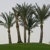 Sharm-el-Sheikh - Date Palms