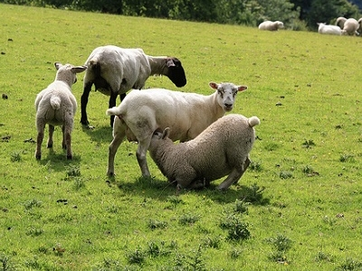 Sheep At Killearn - Scotland