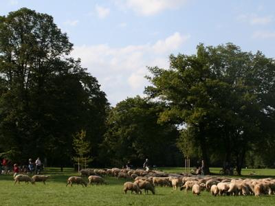 Sheep In The  Hirschau