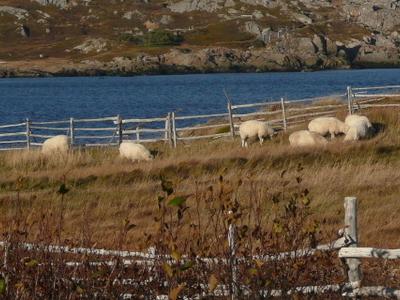 Sheep  Sandy  Cove