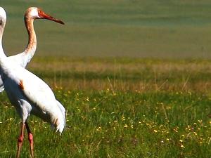Eastern Mongolia Birding Tour