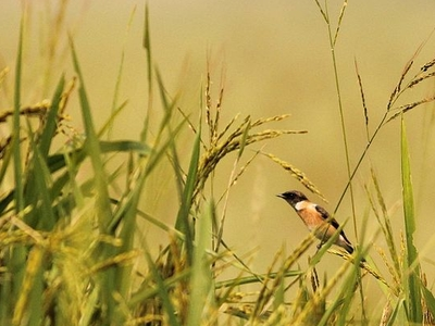 Siberian Stonechat At Kanwar Lake