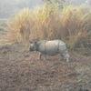 Single Horned Rhino Kaziranga