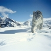 Snow Leopard At Hemis National Park
