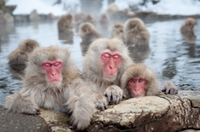 Snow Monkeys - Japanese Macaques