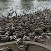 Spokane Manito Park Duck Pond