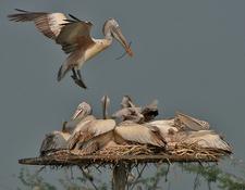 Spot Billed Pelican 2 8 Pelecanus Philippensis 2 9 Landing