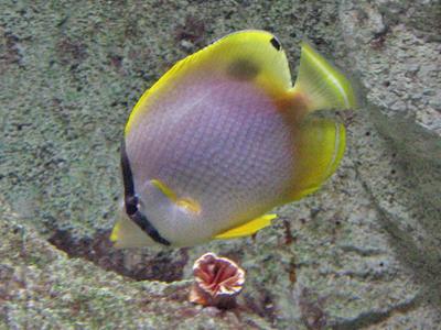 Spotfin Butterflyfish - Maritime Aquarium