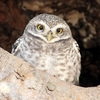 Spotted Owlet At Kanha NP