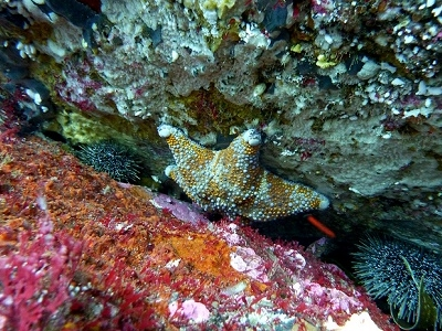 Starfish @ Poor Knights Island NZ Diving Site