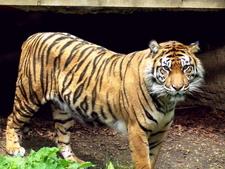 Toronto Zoo's Sumatran Tiger