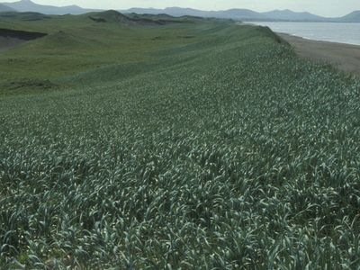 St .  Paul  Island  2 C  Sand Dune Habitat  Pribilof  Islands