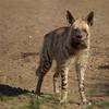 Striped Hyena Adult