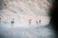Strolling Camels Inside Colored Canyon - Sinai Desert