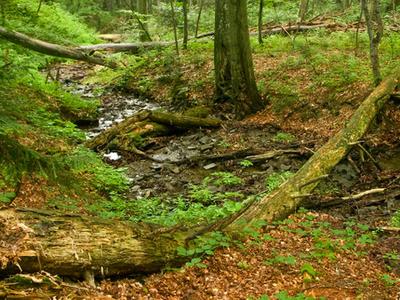 Stuica Primaveral Forest