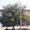 Suncorp Stadium Entrance And Tree