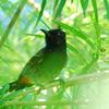 Sundarban Bulbul