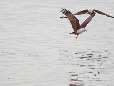 Sundarbans Brahmini Kites