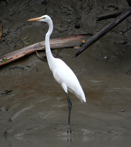 Sundarbans Great Egret