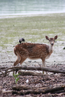 Sundarbans Spotted Deer