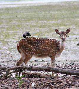 Sundarbans Spotted Deer