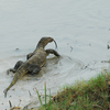 Sundarbans Water Monitor