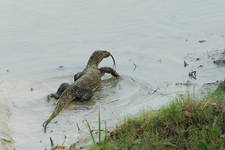 Sundarbans Water Monitor
